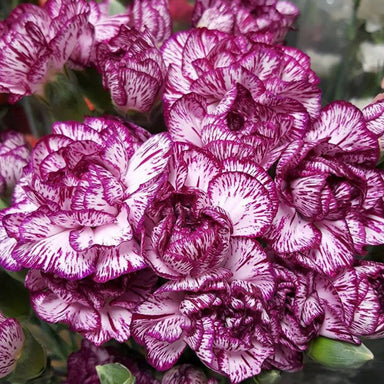 purple and white mini carnations