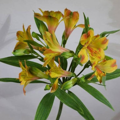 Yellow Alstroemeria Flowers