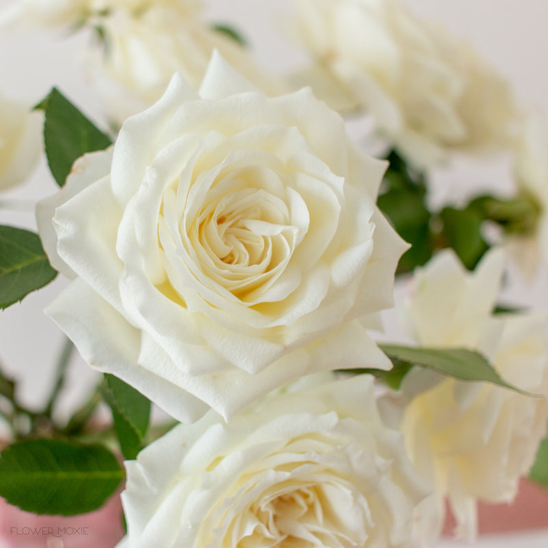cream alabaster garden rose