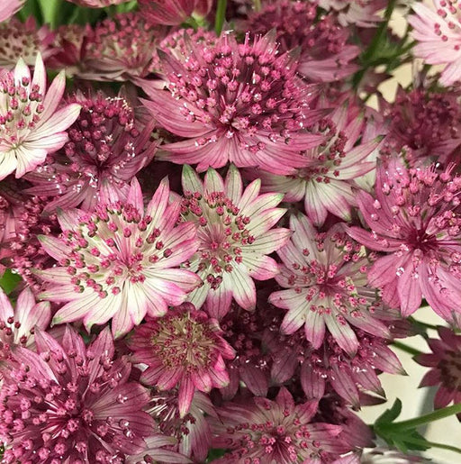 Astrantia- dusty pink