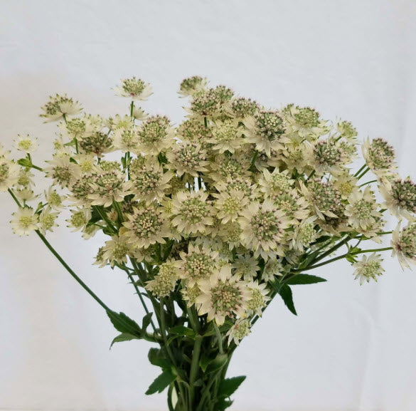 White Cream Astrantia