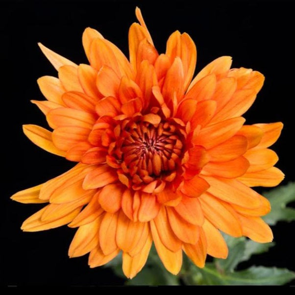 Orange Bronze Cremone Flower