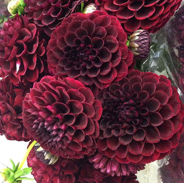 Dahlia Burgundy Black Flower: DIY Wedding Flowers