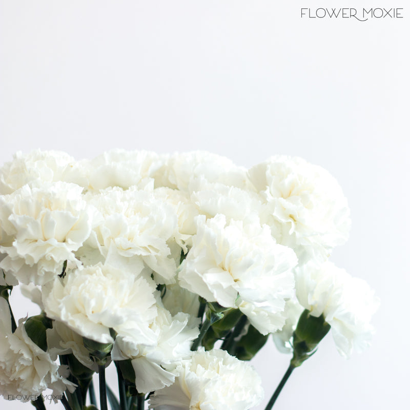 white carnation flower
