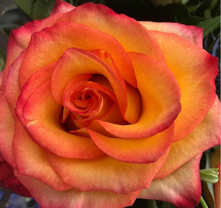 Circus orange and red rose