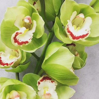 Green Standard Cymbidium Orchid Flower