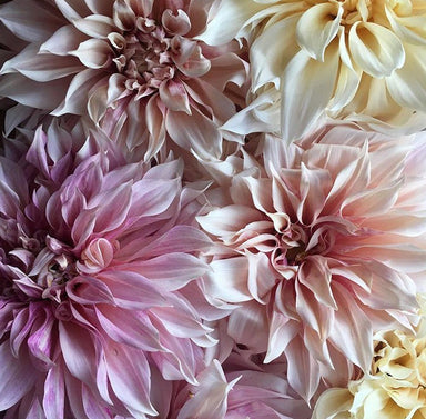 Dahlia- Blush Cafe au Lait