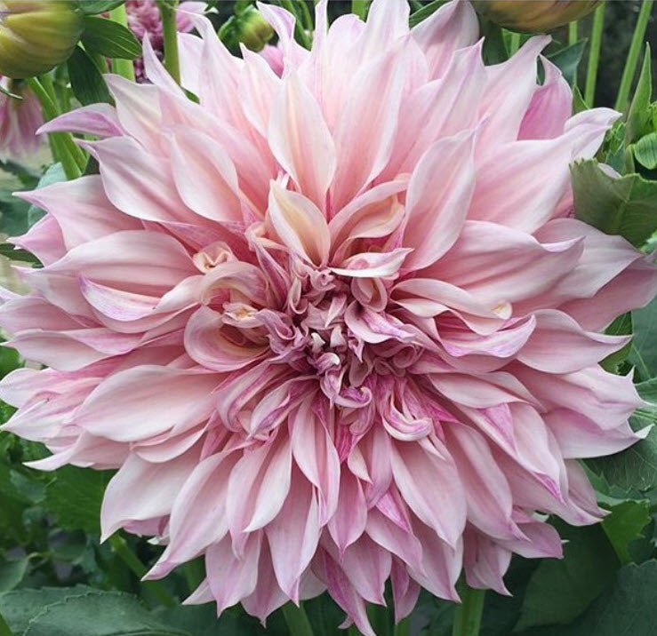 Blush Cafe au Lait Dahlia Flower