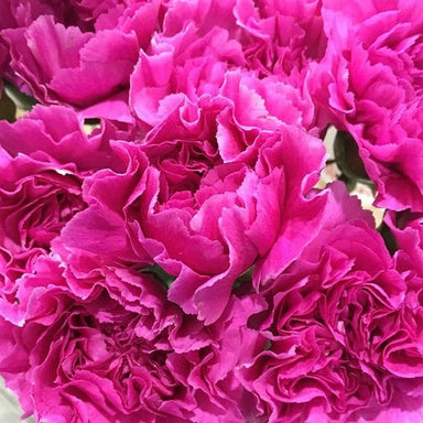 deep pink carnation flower