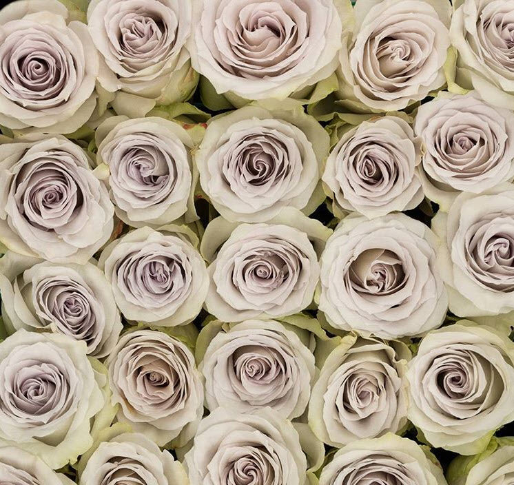 Early Grey Lavender Rose