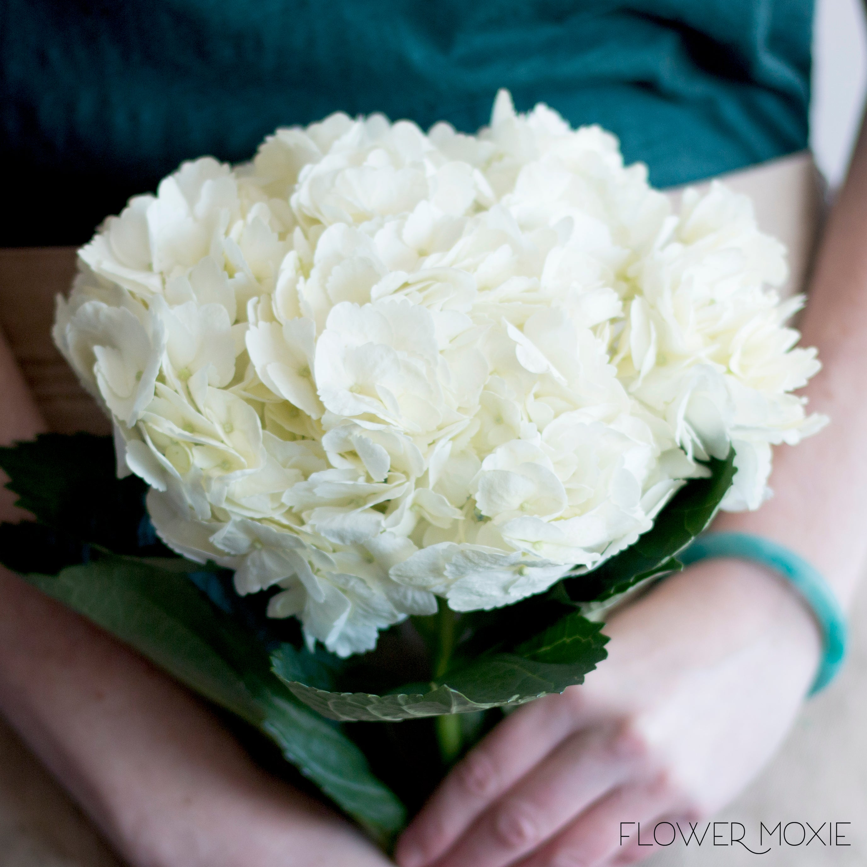 White Hydrangea Flowers Bulk Fresh Wedding Flowers Flower Moxie