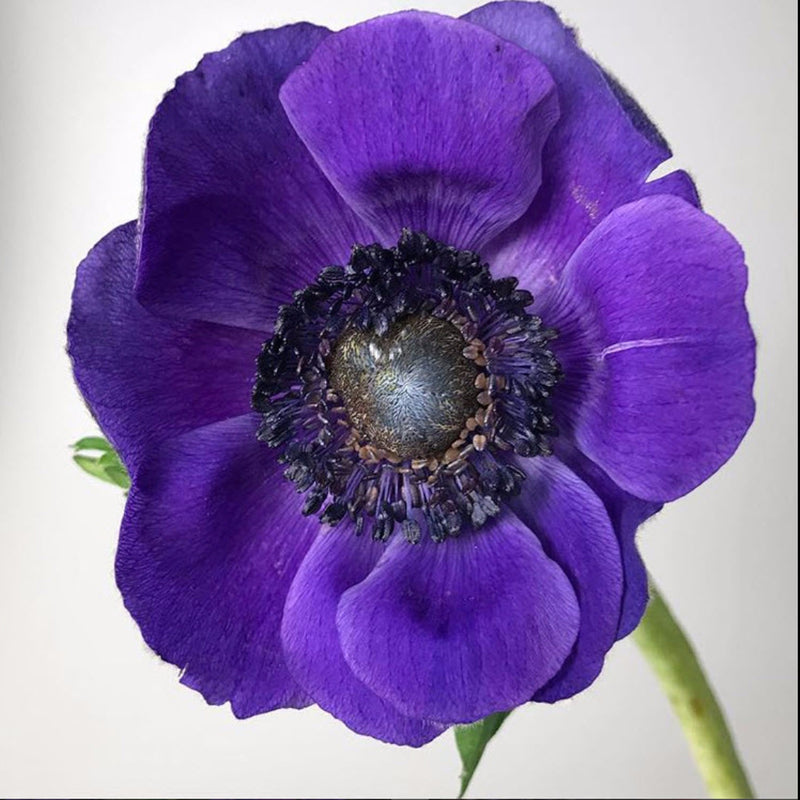 Purple Anemone Flower