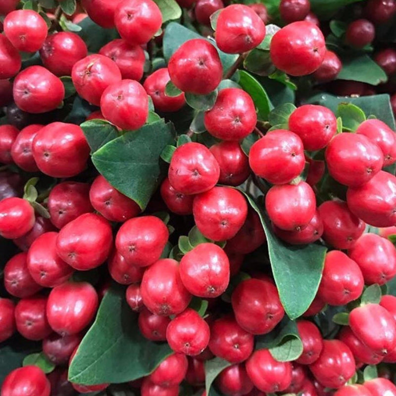 red hypericum berries