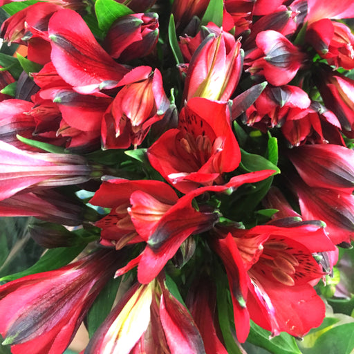 Alstroemeria- Red