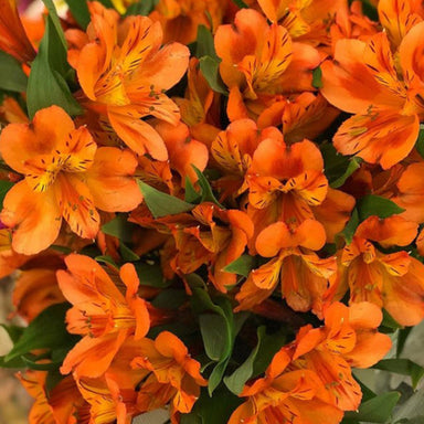 Orange Alstroemeria Flowers