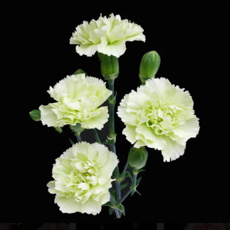 Green mini carnation flower