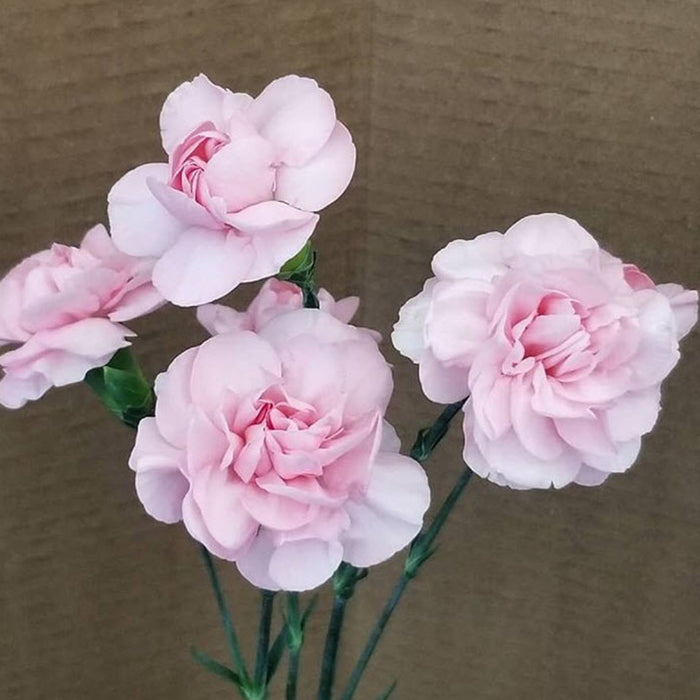 Light Pink Mini Carnations