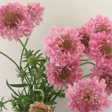 Scabiosa- Pink