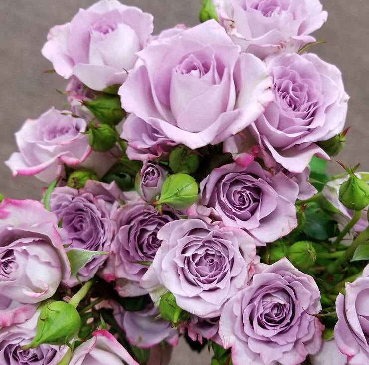 Lavender Spray Rose Flower