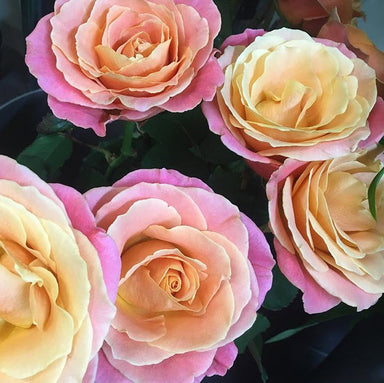 Miss Piggy roses, coral rose