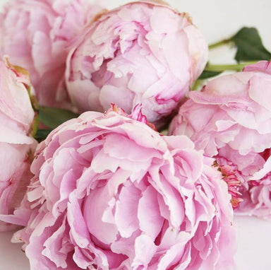 Peonies- Light Pink