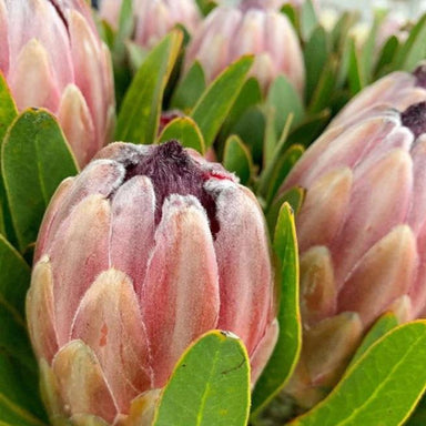 Pink Ice Protea Flower - 5 stems