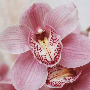 Light Pink Standard Cymbidium Orchid Flower