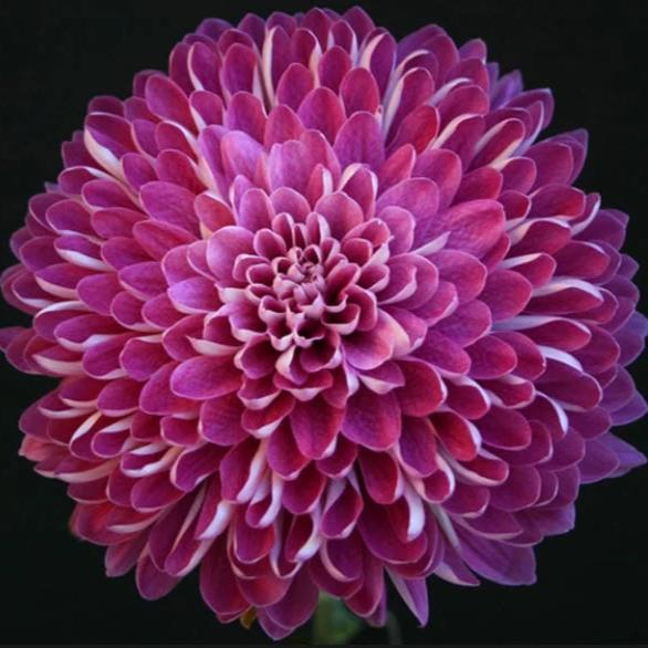 Purple Cremone Mum Flower