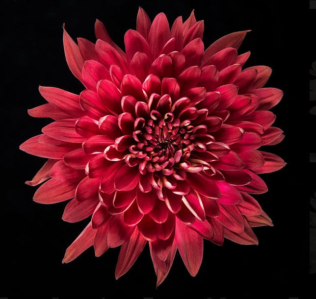 Red or Burgundy Cremone Mum Flower