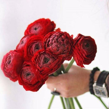 Red ranunculus flower