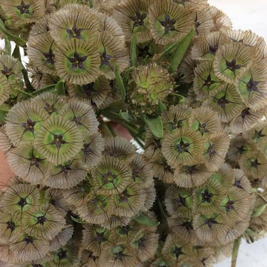 scabiosa pods wedding online flowers