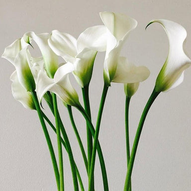 Mini white Calla lily