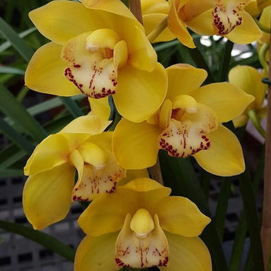 Yellow Standard Cymbidium Orchid Flower