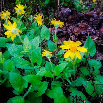 happy little heartleaf arnica
