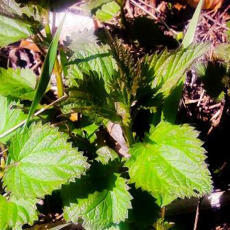 nettles are up!!