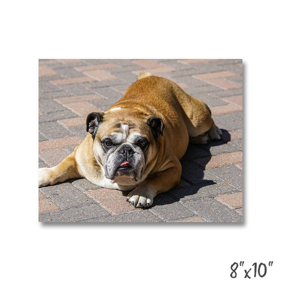 Lazy Bulldog - 1