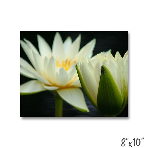 Water Lily - 3