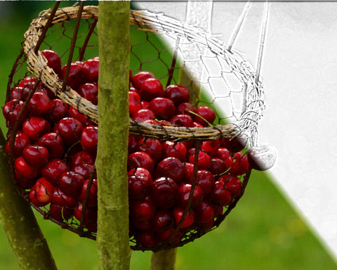 Basket o' Cherries