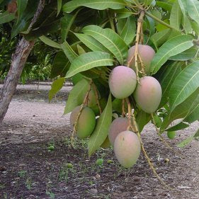 Mangoes - Malgova (per 250gm)