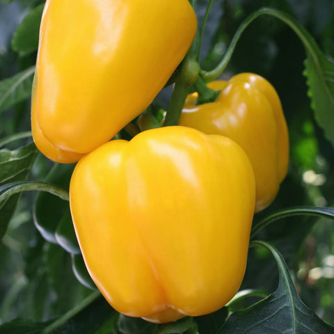 Bell Pepper / Capsicum - Colored (per 250 g)