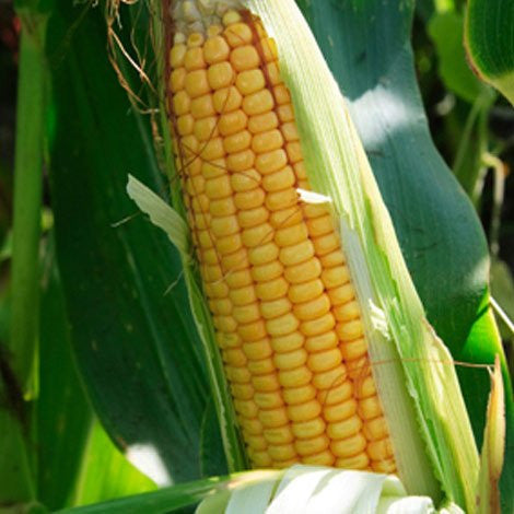 Corn - Sweet Corn (per piece)