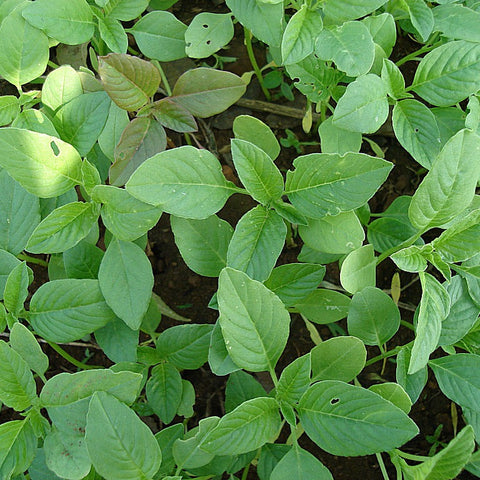 Leaves - Amaranth Green (per 250 g)