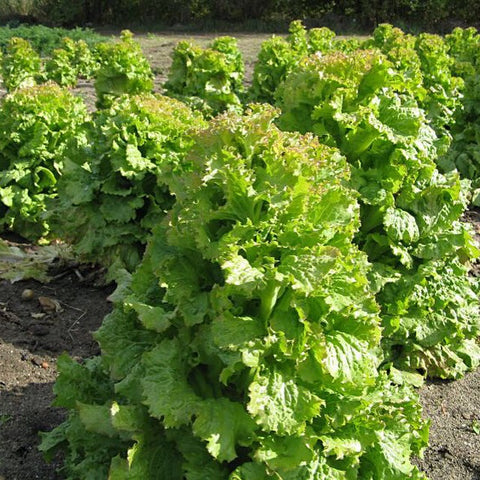 Lettuce - Greek (per 250 g)