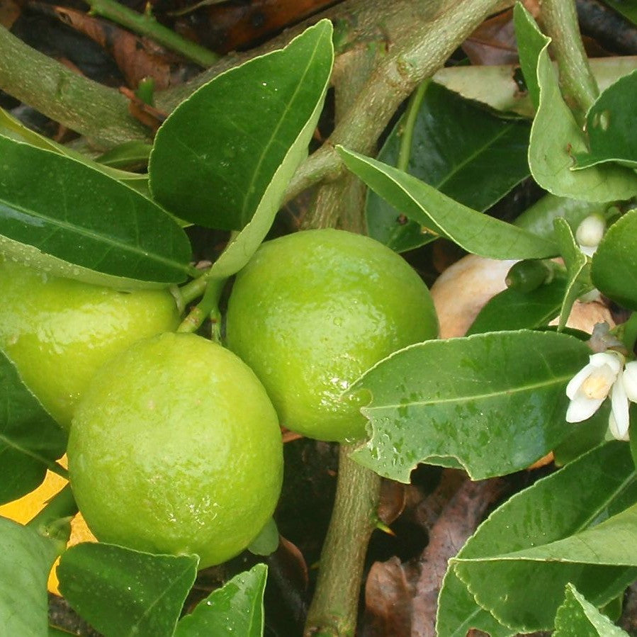 Mosambi / Sweet Lime - Medium (per 250 g)