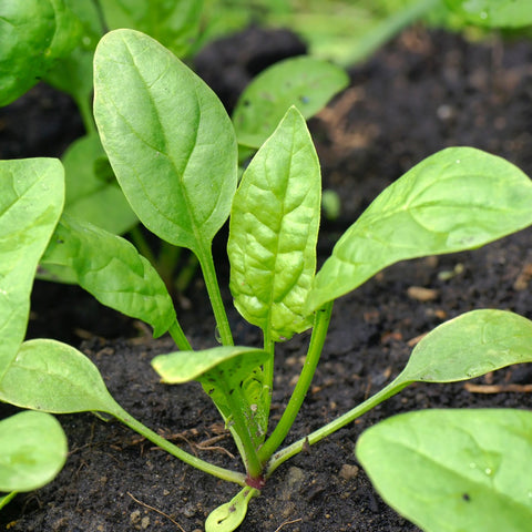 Leaves - Baby Palak / Baby Spinach (per 250g)