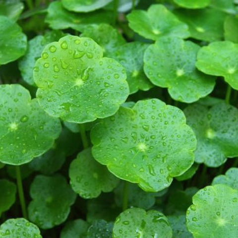 Leaves - Gotu Kola / Pennywort (per 250 g)