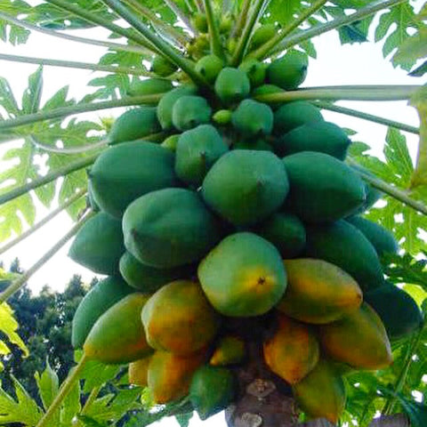 Papaya - Ripe - Medium (per 1 KG)