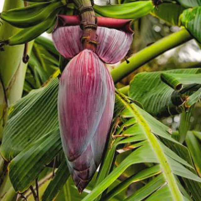Banana Flower (per piece)