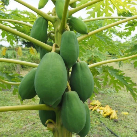 Papaya - Raw - Medium (per 1 KG)