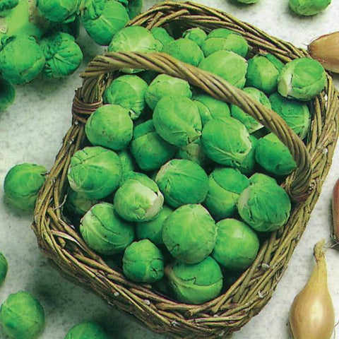 BRUSSELS SPROUT - Flying Dutchman Stores